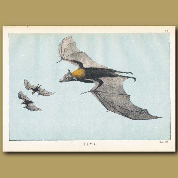 Antique print. Bat