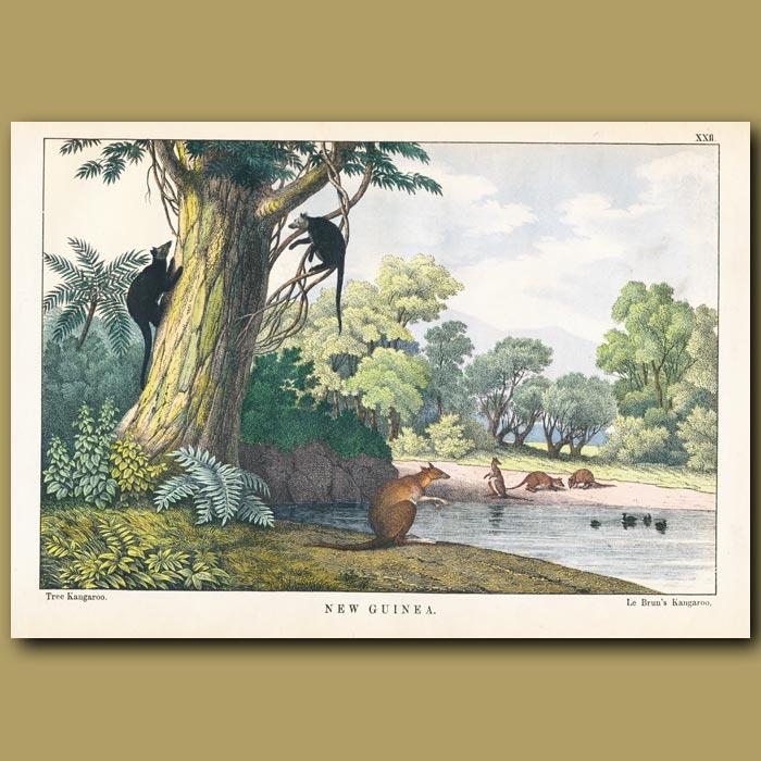Antique print. Le Brun's Tree Kangaroo