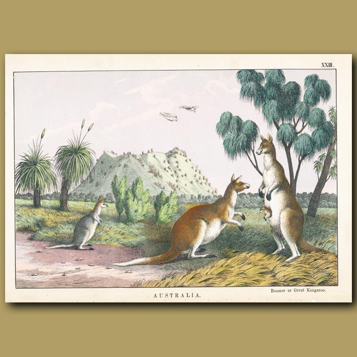Antique print. The Great Kangaroo or Boomer