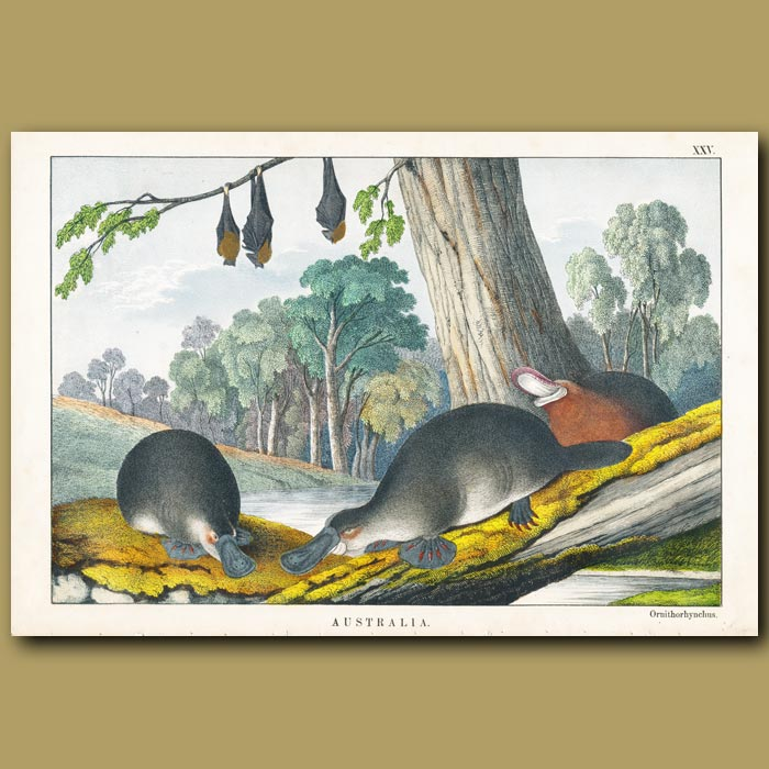 Antique print. Duck Billed Platypus and Bats