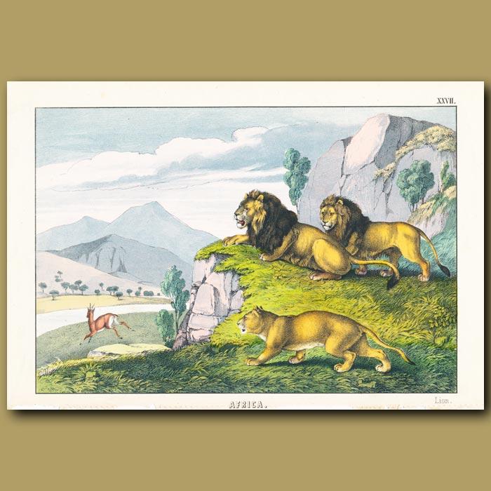 Antique print. The Lion