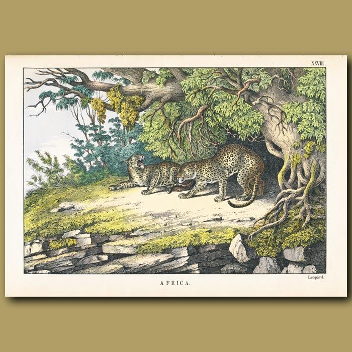Antique print. The Leopard