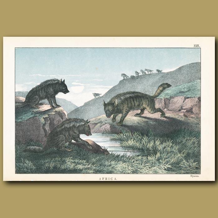 Antique print. The Hyaena