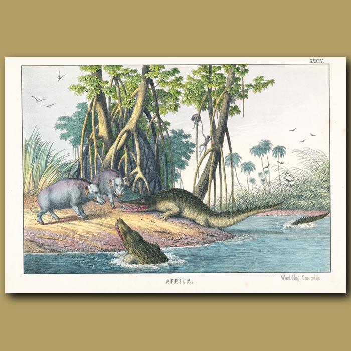Antique print. The Wart Hog and Crocodile