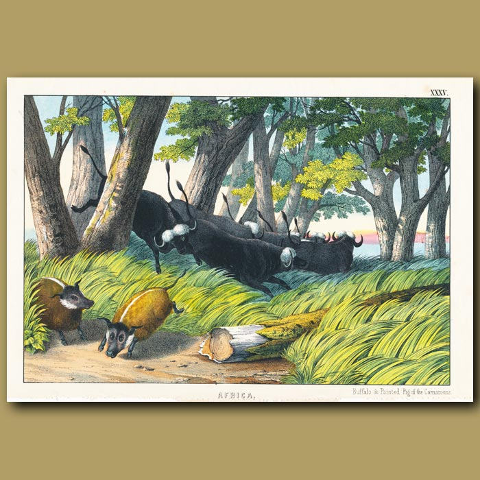 Antique print. The Buffalo and Pointed Pig of the Cameroons