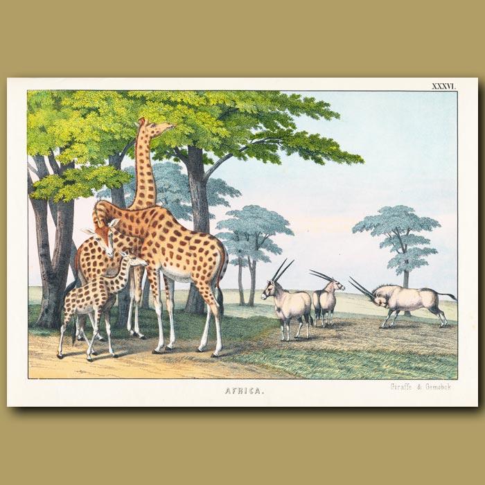 Antique print. The Giraffe and Gemsbok