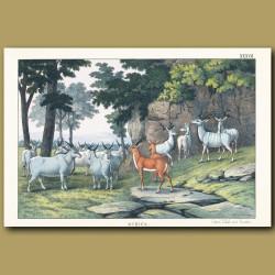 Eland, Impala and Koodoo antelopes