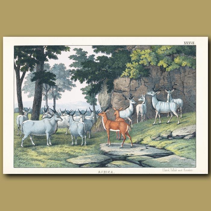 Antique print. Eland, Impala and Koodoo antelopes