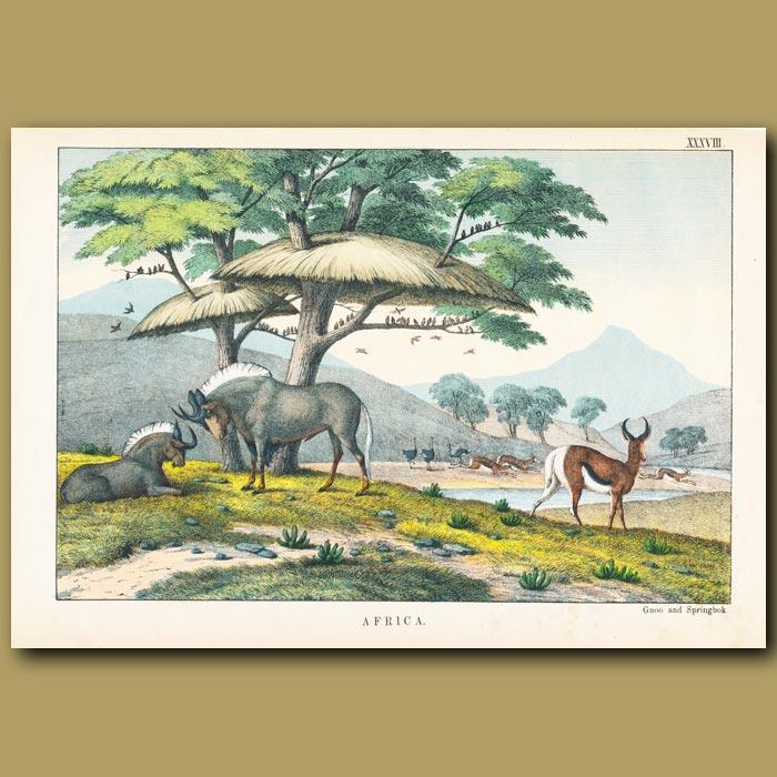 Antique print. Gnoo and Springbok