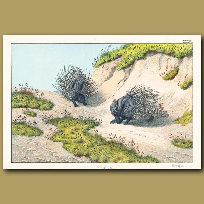 Antique print. The Porcupine