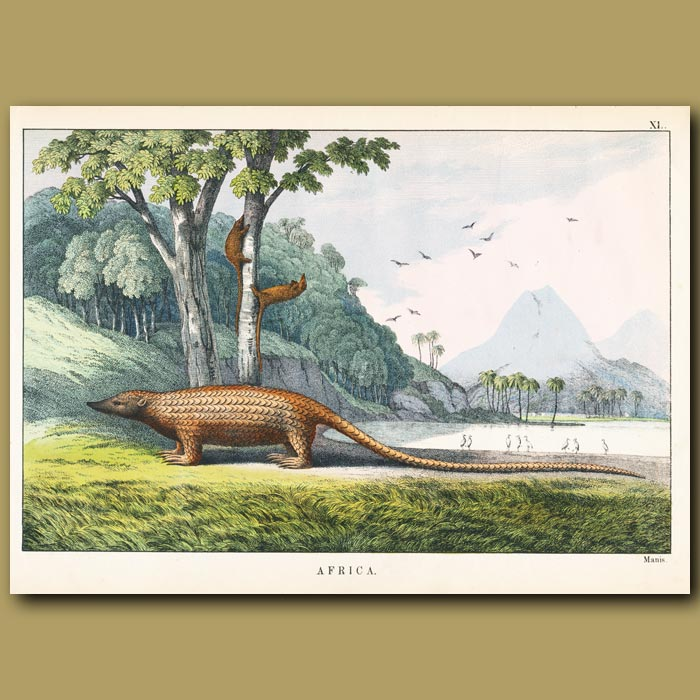 Antique print. The Manis (Giant Pangolin Anteater)