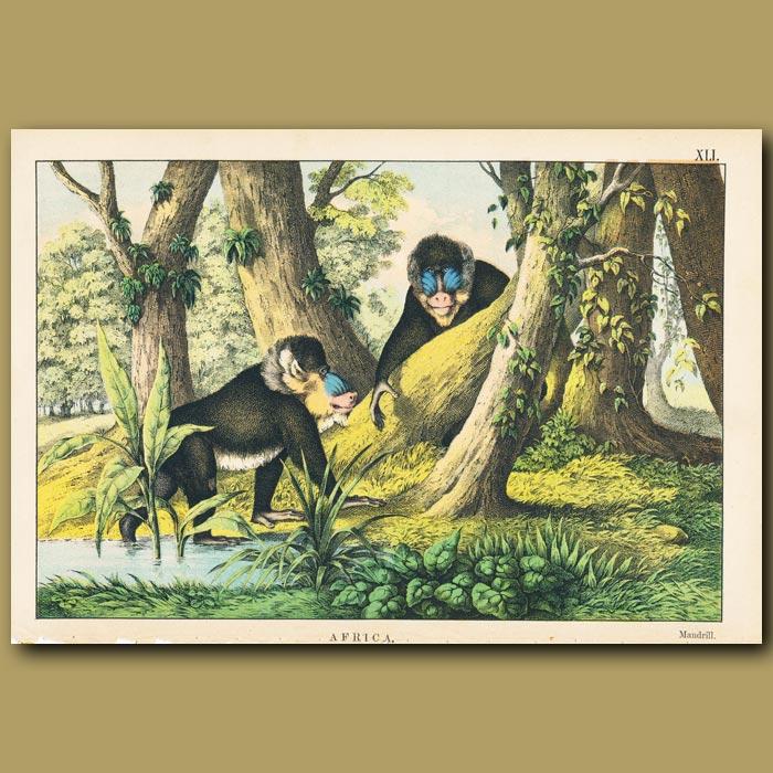Antique print. The Mandrill Monkey