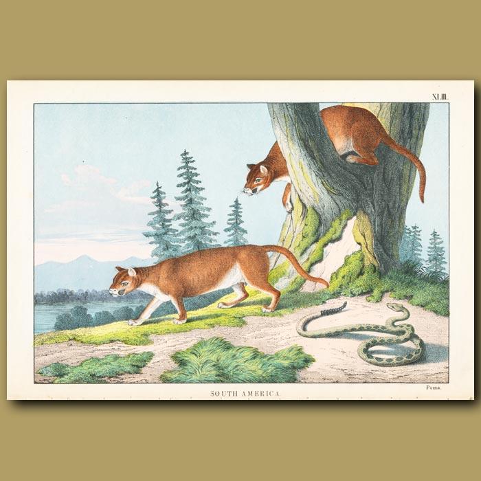 Antique print. The Puma