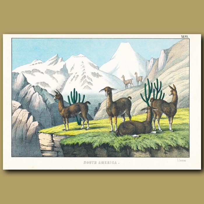 Antique print. The Llama