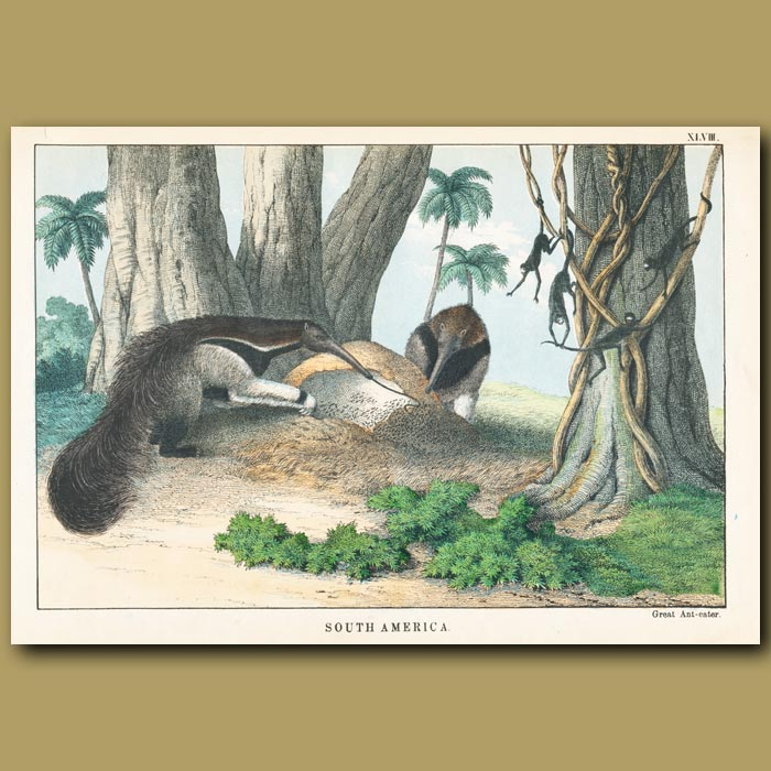 Antique print. The Great Ant Eater