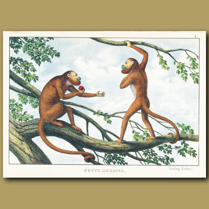 Antique print. The Red Howling Monkey