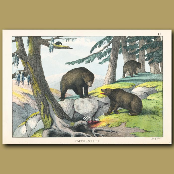 Antique print. Grizzly Bear