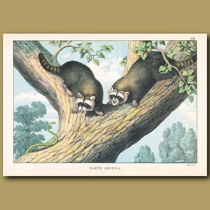 Antique print. Raccoons and Tree Snake