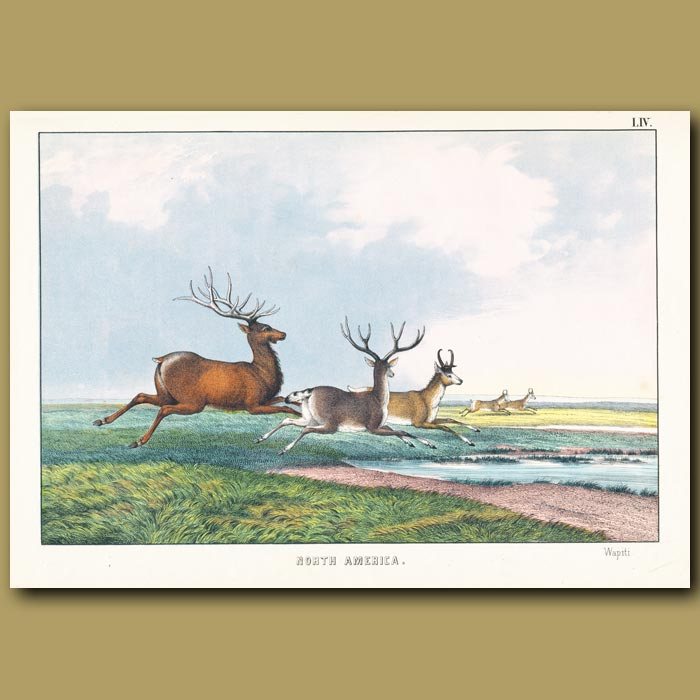 Antique print. Wapiti, Black Tailed deer, Prong Horned Antelope
