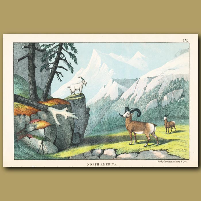 Antique print. Rocky Mountain Sheep and Goat