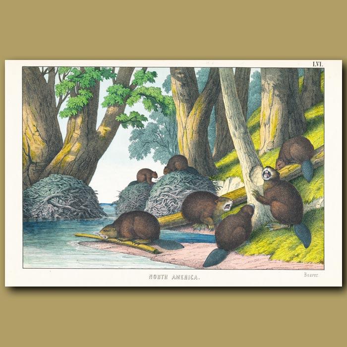 Antique print. Beavers