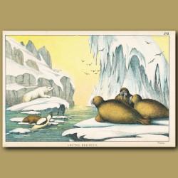 Walrus, Polar Bears and Icebergs