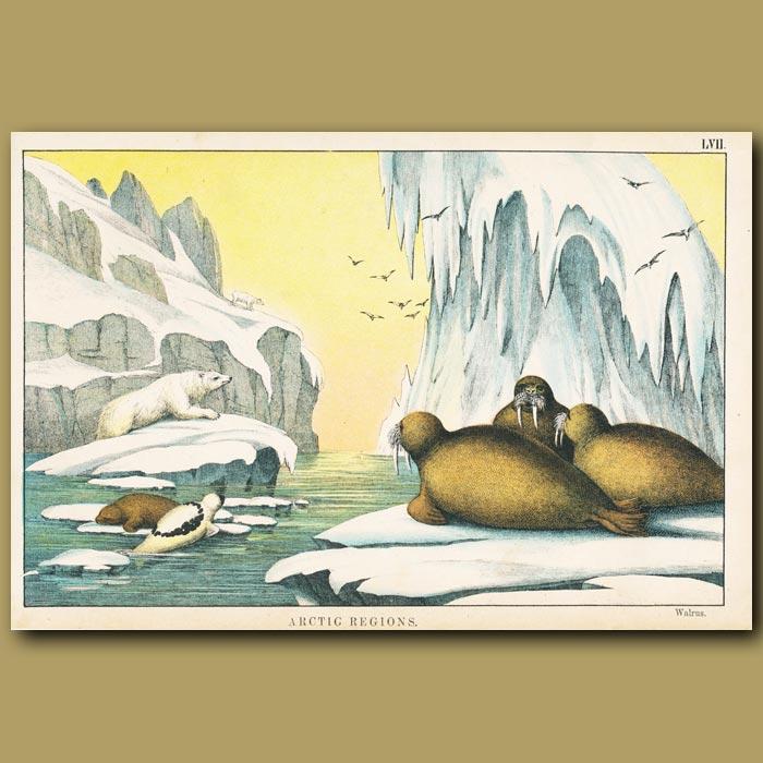 Antique print. Walrus, Polar Bears and Icebergs