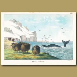 Musk Ox, Whale, Iceberg