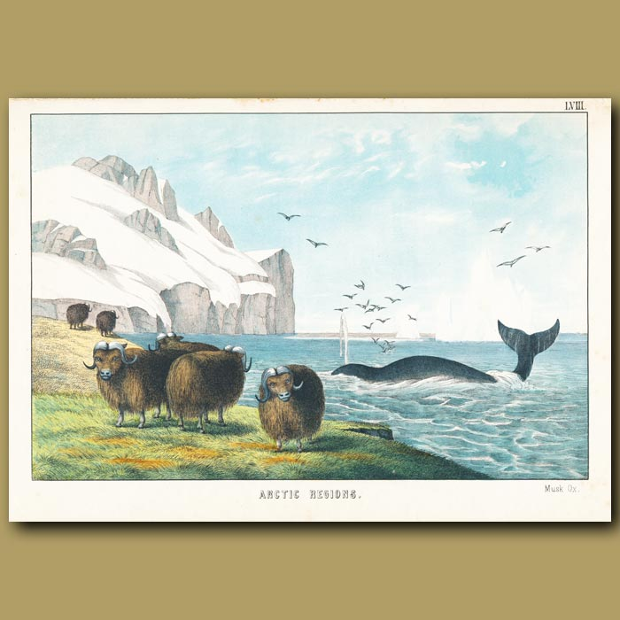 Antique print. Musk Ox, Whale, Iceberg