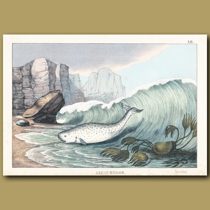 Antique print. Narwhale