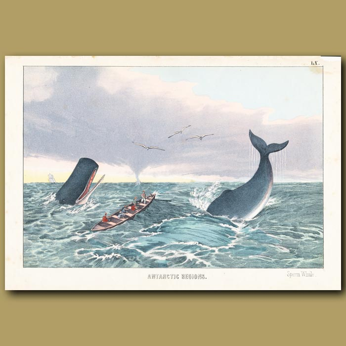 Antique print. Sperm Whale, Water Spout and Whaling boat