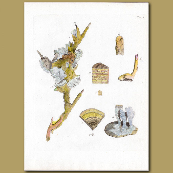 Coral: Gorgonia: Genuine antique print for sale.