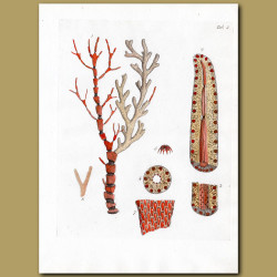 Coral: Jointed Red Coral