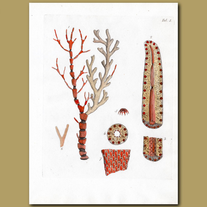 Coral: Jointed Red Coral: Genuine antique print for sale.