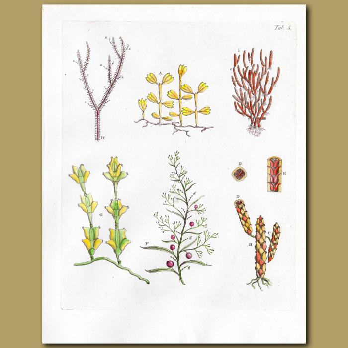 Corallines: Genuine antique print for sale.