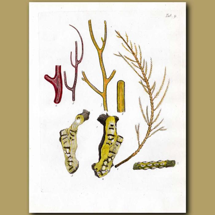 Alcyonium Soft Corals: Genuine antique print for sale.