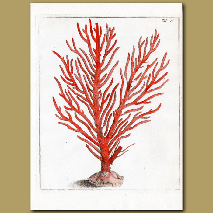 Coral: Fiery Red Gorgon Fan Coral: Genuine antique print for sale.