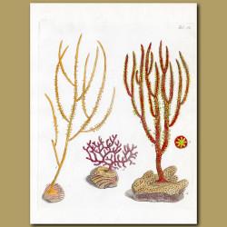 Coral: Horned Gorgonia, Spanish Broom Gorgonia