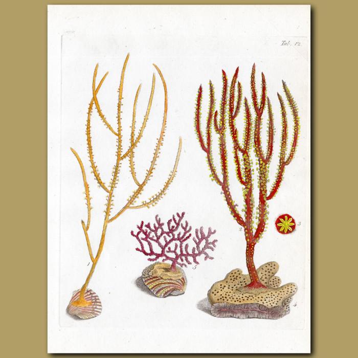 Coral: Horned Gorgonia, Spanish Broom Gorgonia: Genuine antique print for sale.