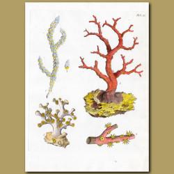 Coral: Barnacle-bearing Gorgon, Comb-like Gorgon, Great Norway Gorgon, West India pinnated Gorgon