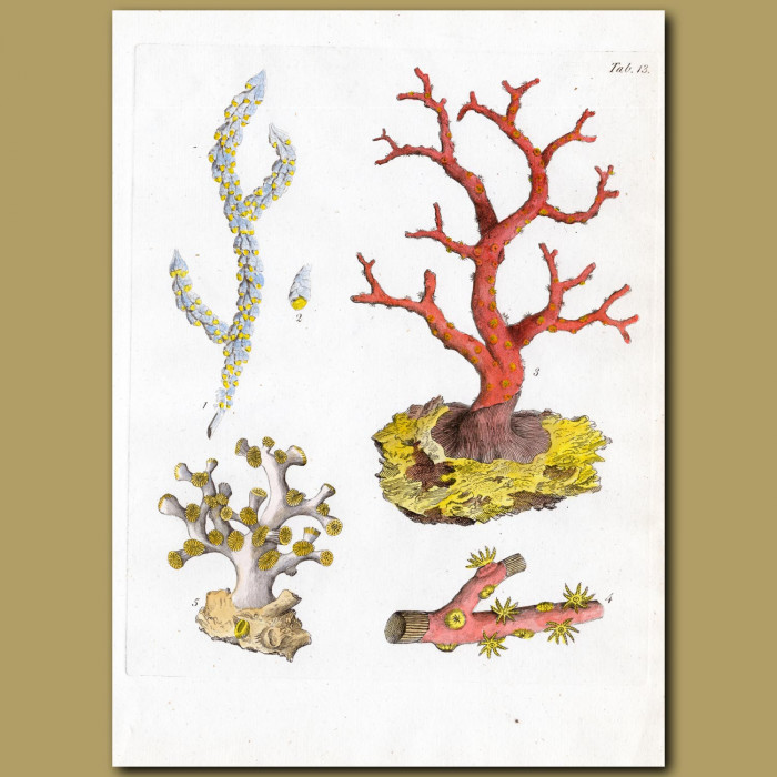 Coral: Barnacle-bearing Gorgon, Comb-like Gorgon, Great Norway Gorgon, West India pinnated Gorgon: Genuine antique print for sale.