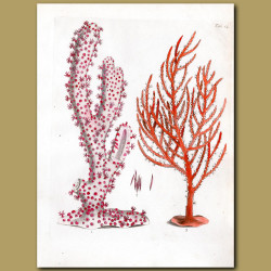 Sea Feather and The Gorgon Briareus