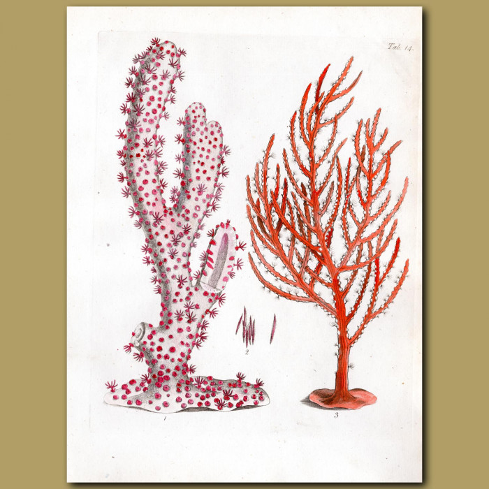 Sea Feather and The Gorgon Briareus: Genuine antique print for sale.