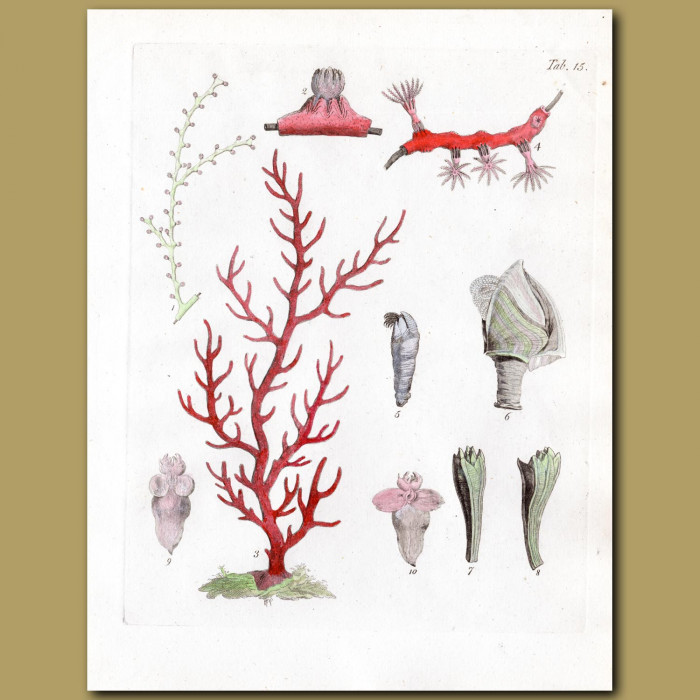 Coral: Bareheaded Gorgon, Flat Gorgon, Sea-willow Gorgon: Genuine antique print for sale.