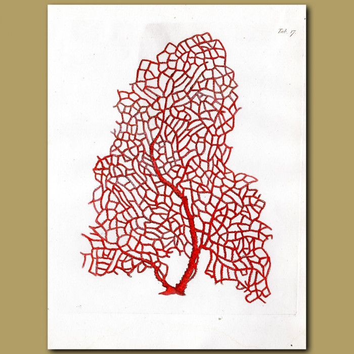 Branched Pipe Coralline: Genuine antique print for sale.