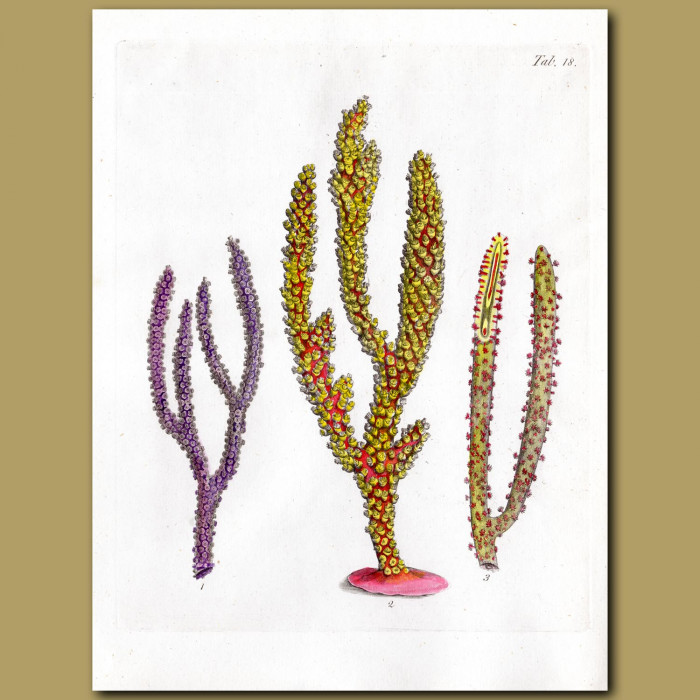 Soft-feathered Coralline: Genuine antique print for sale.