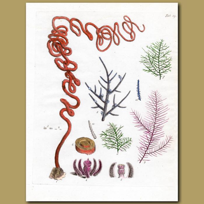 Coral: Black Coral: Genuine antique print for sale.