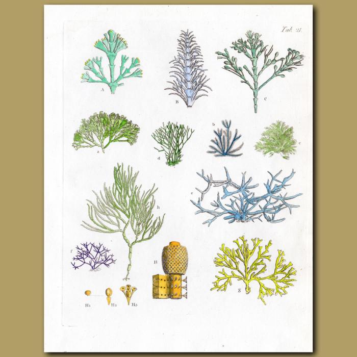 Stony Coralline: Genuine antique print for sale.