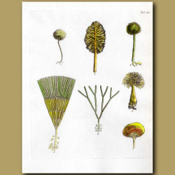 Palm and Pencil Corallines