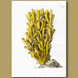 Small Stony Coral